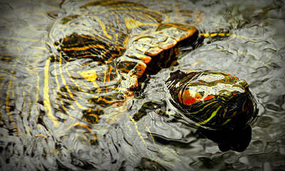 Slider Photograph - Red-eared Slider Turtle by Kathy Peltomaa Lewis