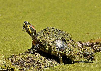 Photograph - Red Eared Slider Turtle by Kathy Baccari