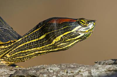 Slider Photograph - Red-eared Slider Turtle by Steve Gettle