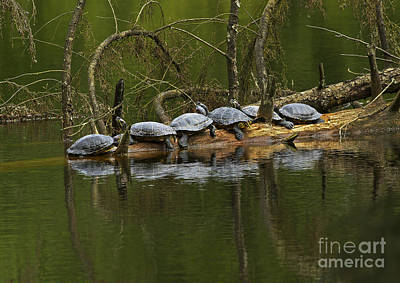 Red-eared Slider Turtles Art Print