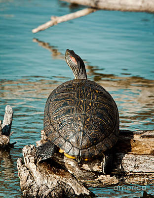 Slider Photograph - Red Eared Slider Xxl by Robert Frederick