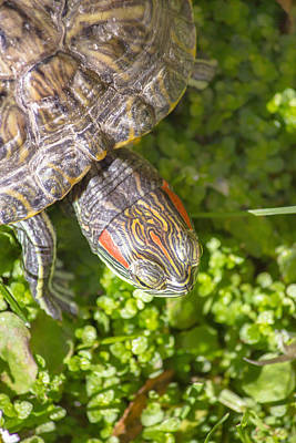 Photograph - Red Eared Turtle In Nature by Brch Photography