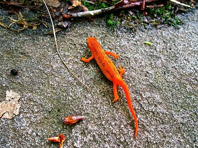 Red Eft Photograph - Red Eft by Christopher Benitto