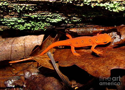 Red Eft Photograph - Red Eft by Joshua Bales