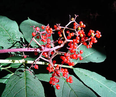Photograph - Red Elderberry by Cheryl Hoyle
