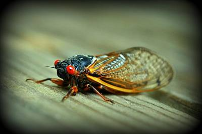 Art Print featuring the photograph Red Eye Cicada by Kelly Nowak
