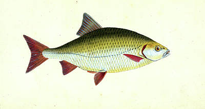 Red Eye Drawing - Red-eye, Cyprinus Erythropthalmus, 1803, British Fishes by Artokoloro