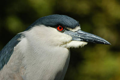 Art Print featuring the photograph Red Eye - Black-crowned Night Heron Portrait by Georgia Mizuleva