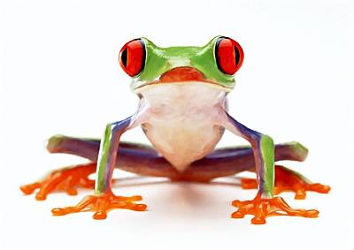 Peeper Painting - Red-eye Tree Frog 2 by Lanjee Chee