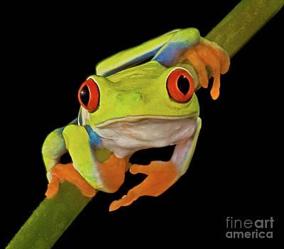 Red Eye Tree Frog Art Print by Susan Candelario
