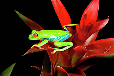 Anuran Photograph - Red Eye Treefrog, Agalychnis by David Northcott