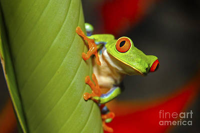 Red Eyed Leaf Frog Art Print by Bob Hislop
