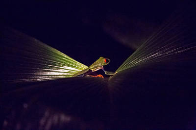 Frog Photograph - Red-eyed Leaf Frog In Costa Rica by Natural Focal Point Photography
