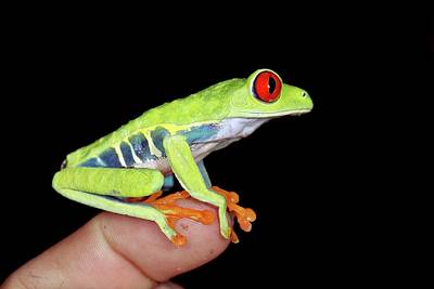Central American Frogs Photograph - Red-eyed Tree Frog by Nicolas Reusens