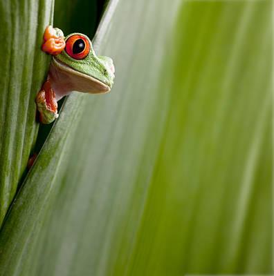 Red Eyed Tree Frog Peeping Print by Dirk Ercken