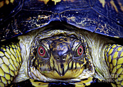 Photograph - Red Eyed Turtle  by Paul W Faust -  Impressions of Light