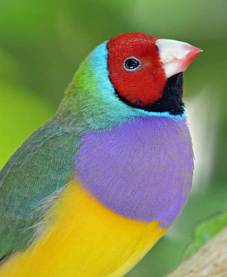 Red Faced Gouldian Finch Print by Richard Bryce and Family