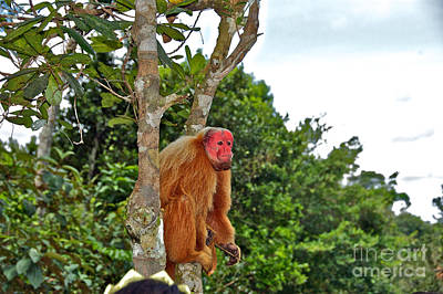 Uakari Wall Art - Photograph - Red-faced Monkey by Thomas Major