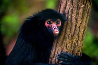 Red-faced Spider Monkey Ateles Paniscus Art Print by Leonardo Mer�on