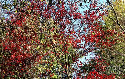 Red Fall Foliage Art Print by Tina M Wenger