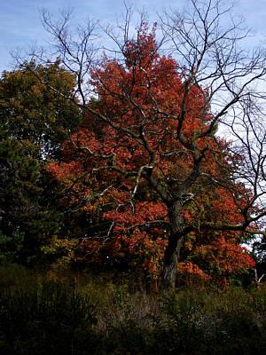 Red Fall Maple Tree Art Print by Michel Mata