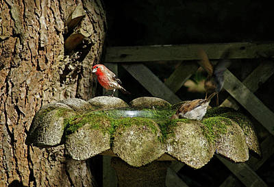 Photograph - Red Finch At The Bird Bath by Margie Avellino