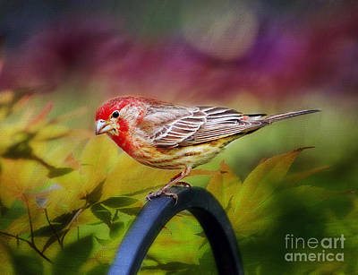Red Finch Photograph - Red Finch by Darren Fisher
