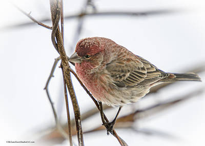 Red Finch Photograph - Red Finch by LeeAnn McLaneGoetz McLaneGoetzStudioLLCcom