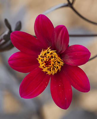 Sports Royalty-Free and Rights-Managed Images - Red Flower At Milwaukee Bot Gardens by David Tennis