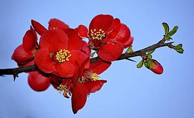 Photograph - Red Flower Blue Sky by AJ  Schibig