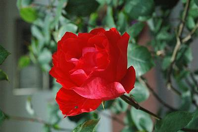 Red Flower   China Flower Original by Zhao  Liling