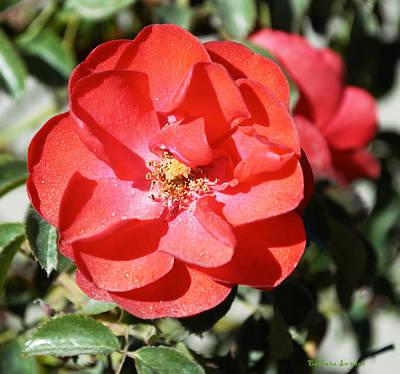 Roses Bushes Digital Art - Red Flower I by Barbara Snyder