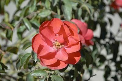 Roses Bushes Digital Art - Red Flower II by Barbara Snyder