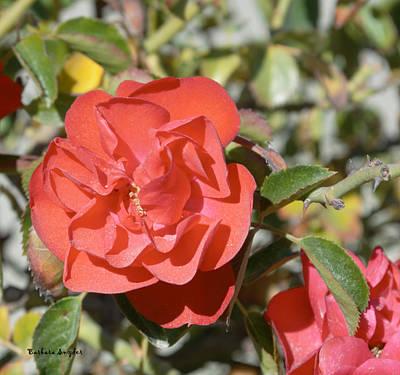 Roses Bushes Digital Art - Red Flower IIi by Barbara Snyder