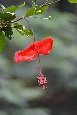 Red Flower St. John's Art Print