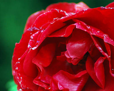 Photograph - Red Flower Wet by Matt Harang