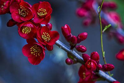 Whats Your Sign - Red Flowering Quince by Belinda Greb