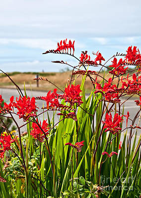Photograph - Red Flowers Crocosmia Lucifer Montbretia Plant Art Prints by Valerie Garner