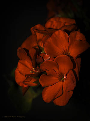 Photograph - Red Flowers In Evening Light by Lucinda Walter