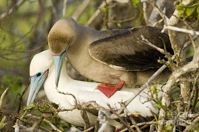 Red-footed Boobies Mating Print by William H. Mullins