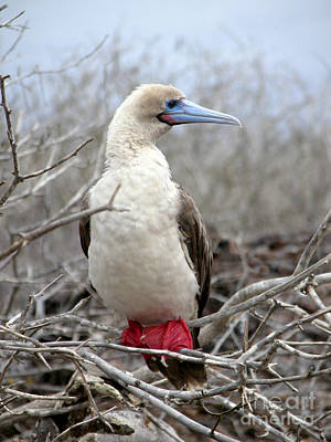 Photograph - Red-footed Booby by Liz Leyden