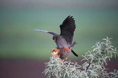 Red Falcon Photograph - Red-footed Falcons Mating by Dr P. Marazzi