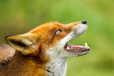 Red Fox - Vulpes Vulpes Art Print by George Cox