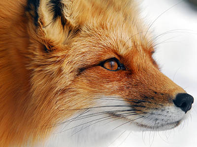 Wild Animals Photograph - Red Fox by Alain Turgeon