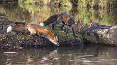 Photograph - Red Fox And Cross Fox by Linda Arndt