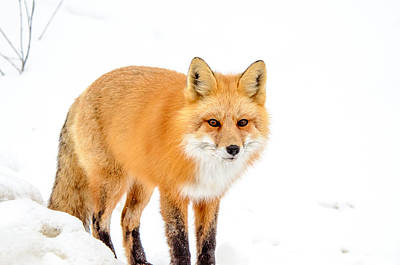 Photograph - Red Fox Snowy Backdrop by Roxy Hurtubise
