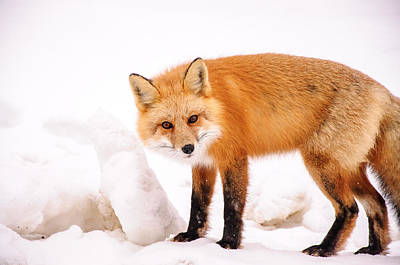 Photograph - Red Fox Curious by Roxy Hurtubise