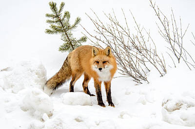 Photograph - Red Fox Winter Landscape by Roxy Hurtubise
