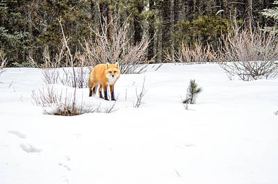 Photograph - Red Fox All Alone by Roxy Hurtubise