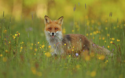 Wild Flowers Wall Art - Photograph - Red Fox by Assaf Gavra